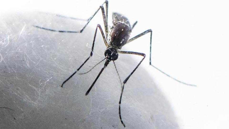 The aedes aegypti mosquito that spreads dengue and chikungunya.