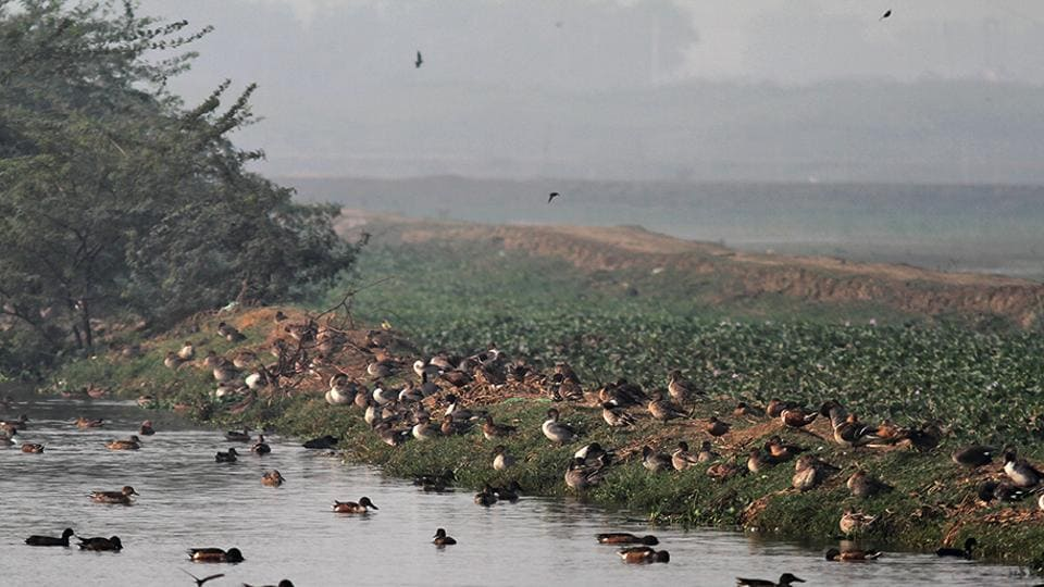 migratory birds,Basai wetland,Sultanpur National Park