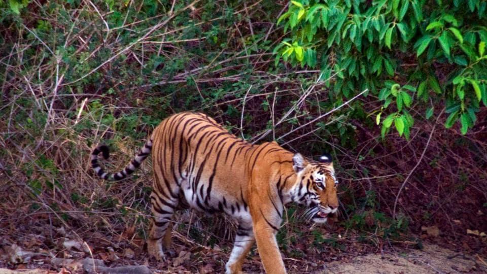 Tiger attack,Man eater,Leopard attack