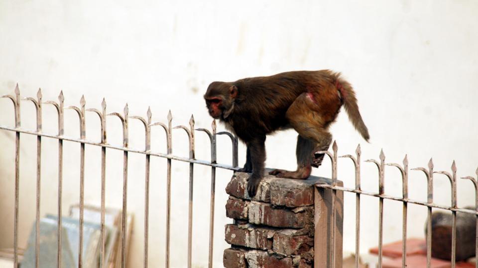 Uttarakhand news,Monkey menace,Simian trouble