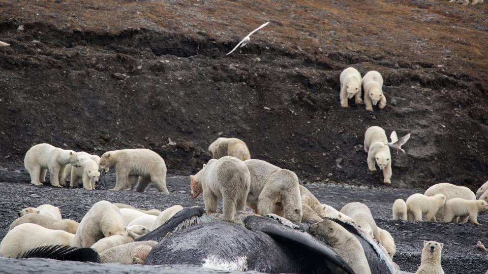 A handout picture shows polar bears gathering around the carcass of a bowhead whale on the shore of Russia's Wrangel Island.