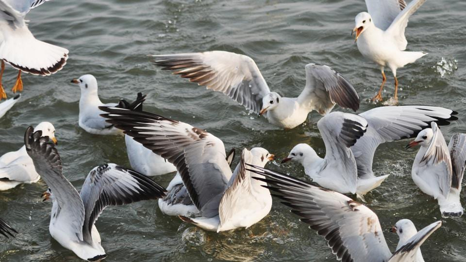 Siberian gulls (Larus heuglini) flock above the Ganges River near Sheetla Ghat in Varanasi. These migratory birds fly down thousands of kilometers to the city to escape the extreme cold of their Arctic home grounds. (Rajesh Kumar / HT Photo)