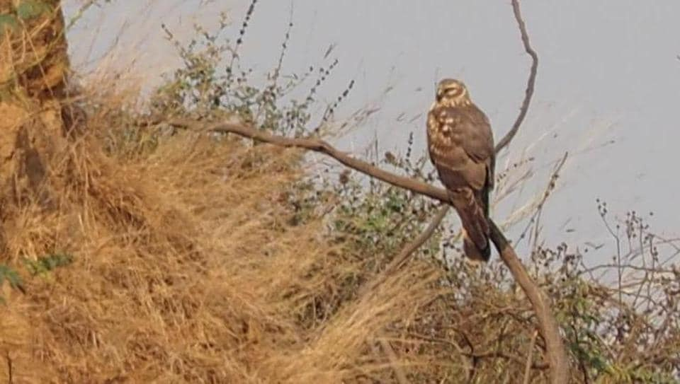 The list of birds arriving in Delhi this year include the pallid harrier — a raptor— which has been spotted for the first time at Asola Bhatti Wildlife Sanctuary.