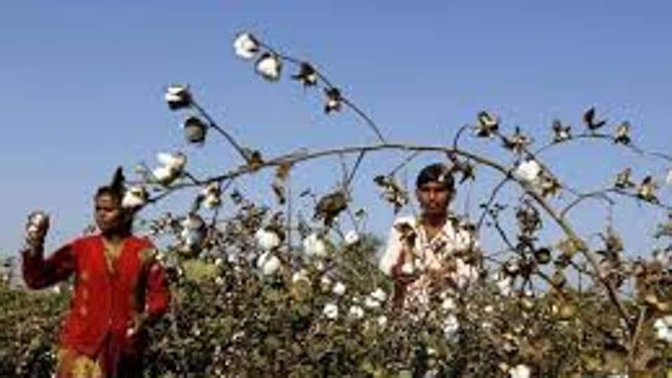 Cotton,Mumbai,Pink Bollworm