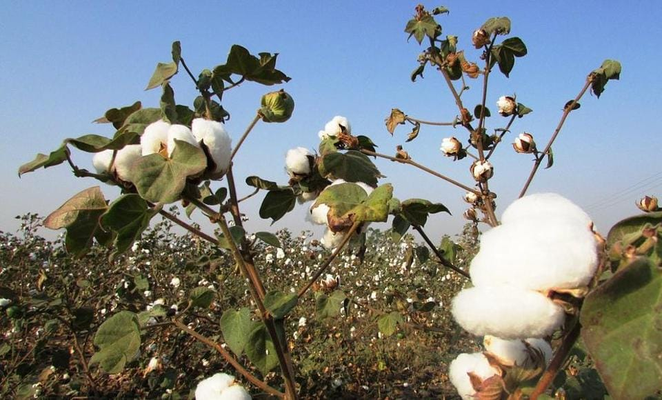 maharashtra farmers,cotton crop,pest attack