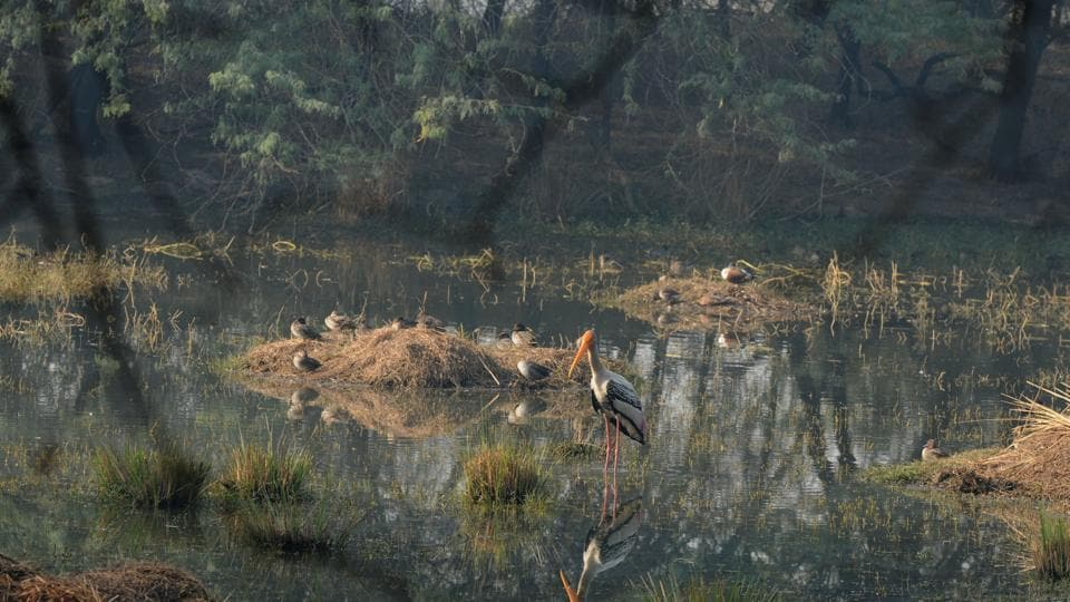 Painted stork, among the most nested species in the Sulatanpur National Park, flock to the 352-acre water body in Sultanpur National Park every year.
