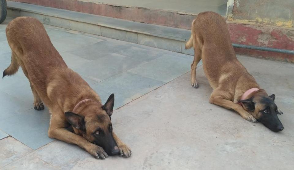 Rajasthan Police,Police dogs,Belgian Malinois