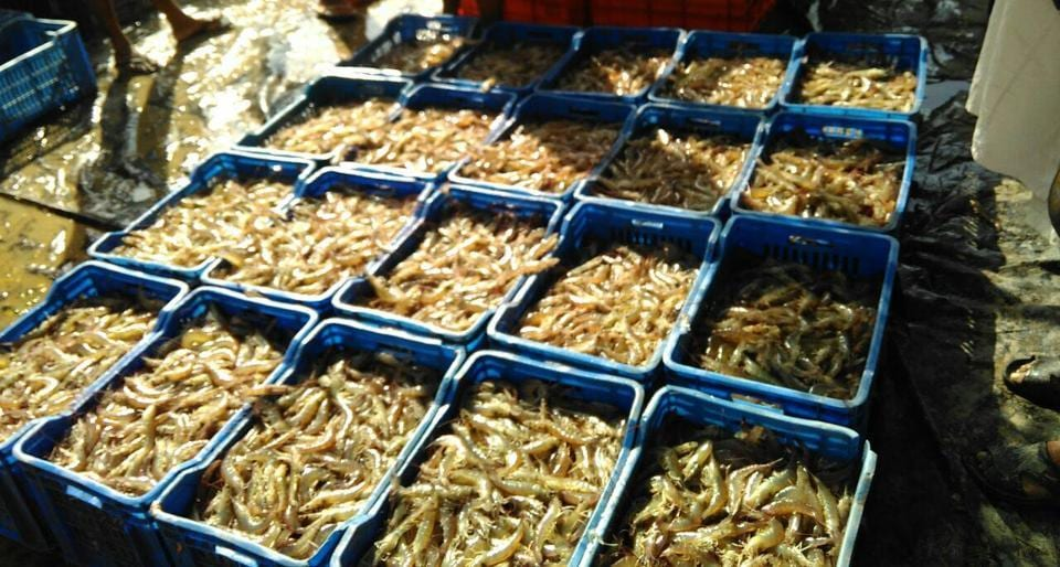 Shrimp ready for packaging in Fazilka, among districts that suffer from waterlogged fields where crops are hard to grow.
