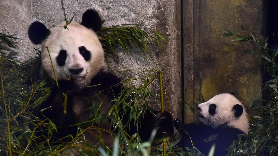 Baby panda Chulina (right) is the first female cub born in captivity in Madrid. (AFP)