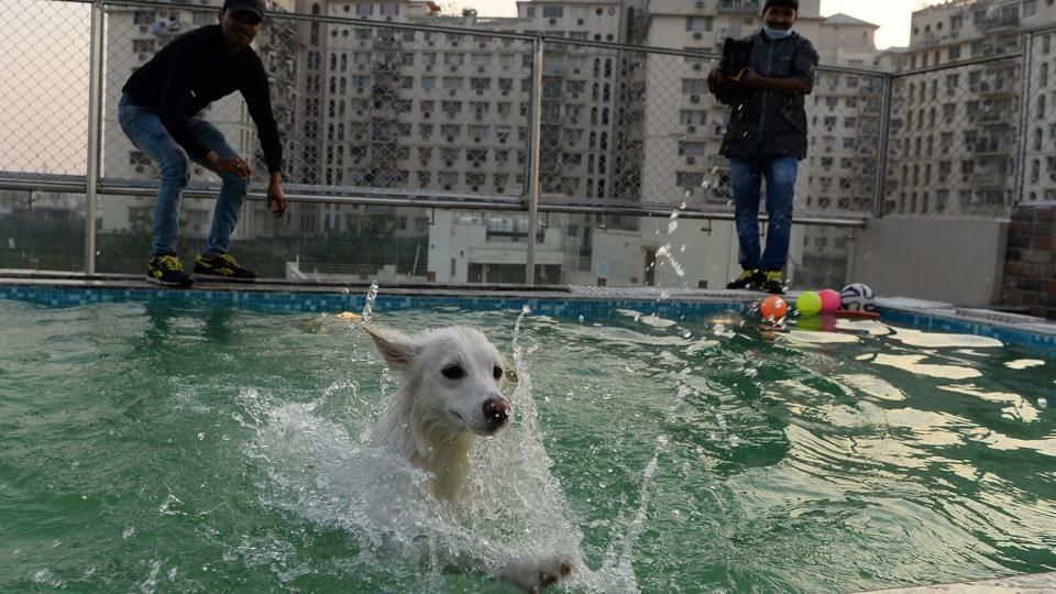A dog bathes in a swimming pool at  Critterati. The facility also has a swimming pool, a spa with ayurvedic massage oils and a vet on 24-hour call, while a medical unit with operating theatre is being built. (Sajjad Hussain / AFP)