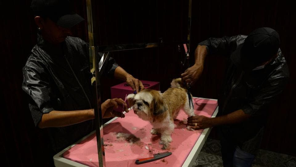 "A dog gets a hair cut at the luxury dog hotel  in Gurgaon.  Unlike the streetwise hounds waiting outside for scraps, Critterati clients have their every need met and many of the owners refer to themselves as ""parents"".  (Sajjad Hussain / AFP)"
