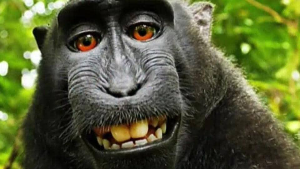 Monkey selfie,Indonesian monkey selfie,Naruto