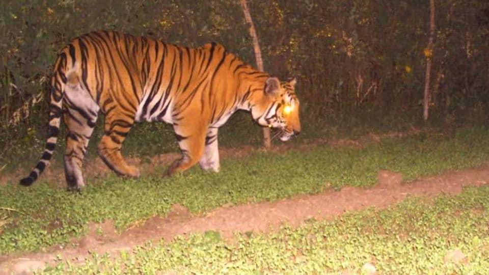 tiger,Madhya Pradesh,Dewas