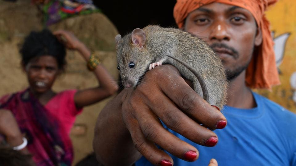 Rakesh Manjhi, 28, holds a rat at Alampur Gonpura village, Bihar. His neighbour Phekan Manjhi eventually pinned it to the ground as neighbours huddled in a grimy courtyard, while he dissected the animal with his fingernails. Phekan is one of about 2.5 million Musahars --'Rat Eaters'-- one of India's most marginalised communities, considered among the poorest of the poor in India. (Sajjad Hussain / AFP)