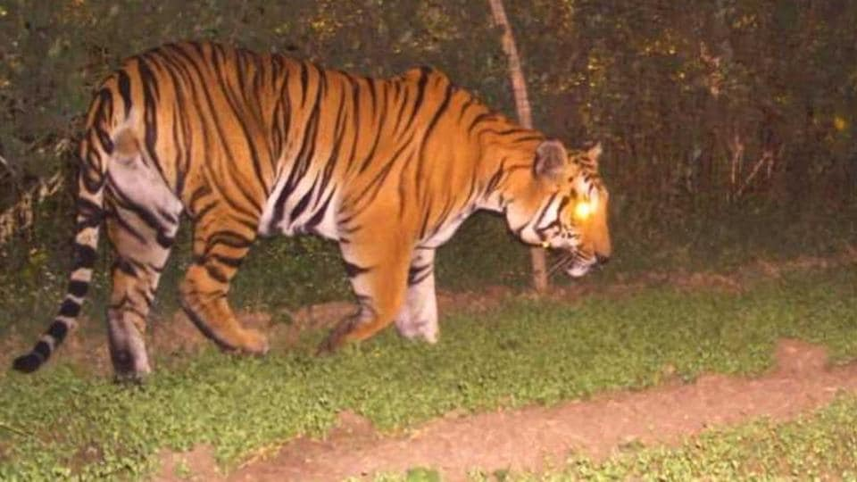 Madhya Pradesh,lovelorn tiger,Man-animal conflict