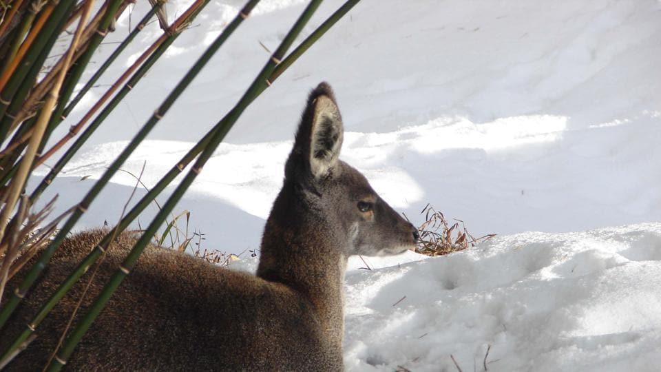 Uttarakhand news,Musk deer,Death