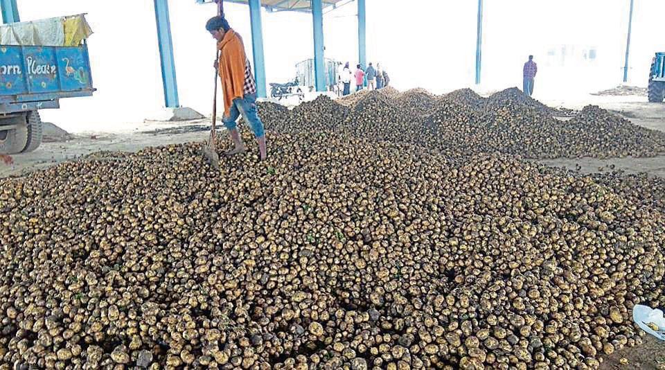 A man at the Pipli potato market at Kurukshetra district on Wednesday.