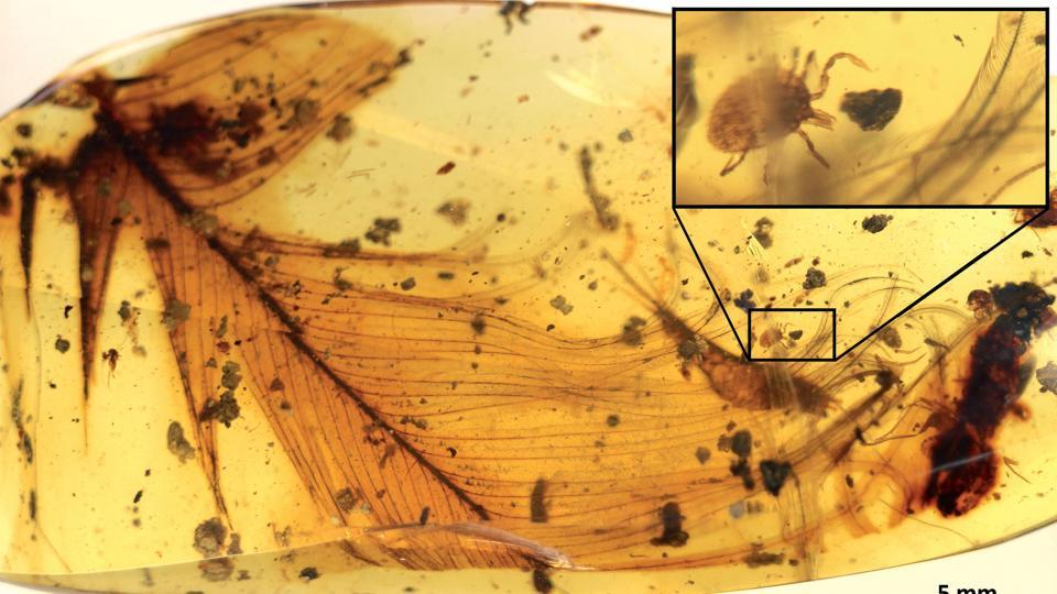 This handout picture by Nature Communication shows hard tick on a dinosaur feather preserved in 99 million-year-old Burmese amber. .