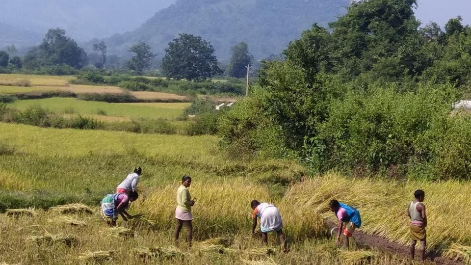 Farmers working in the field in Rayagada where they have been traditionally cultivating at least a dozen varieties of crops, including paddy.