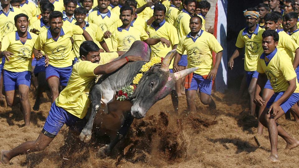 Jallikattu,Bull-taming sport,Jallikattu championship