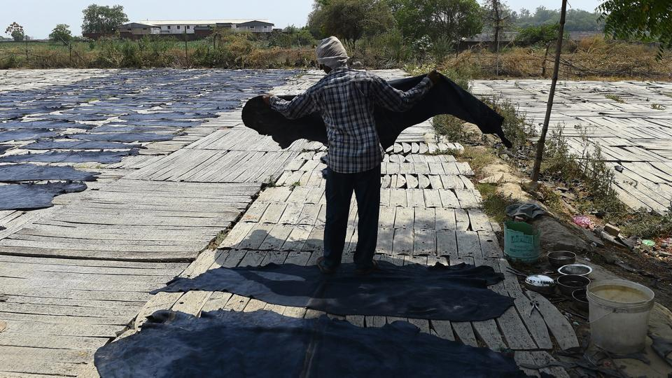 A labour carries buffalo hides that are laid out to dry in the sun, as part of the leather production process, on the banks of the river Ganges in Kanpur on May 20, 2016.