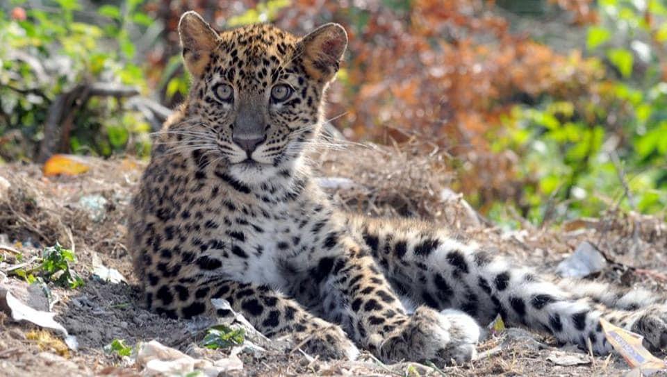 A leopard that strayed into FRI campus in Dehradun.