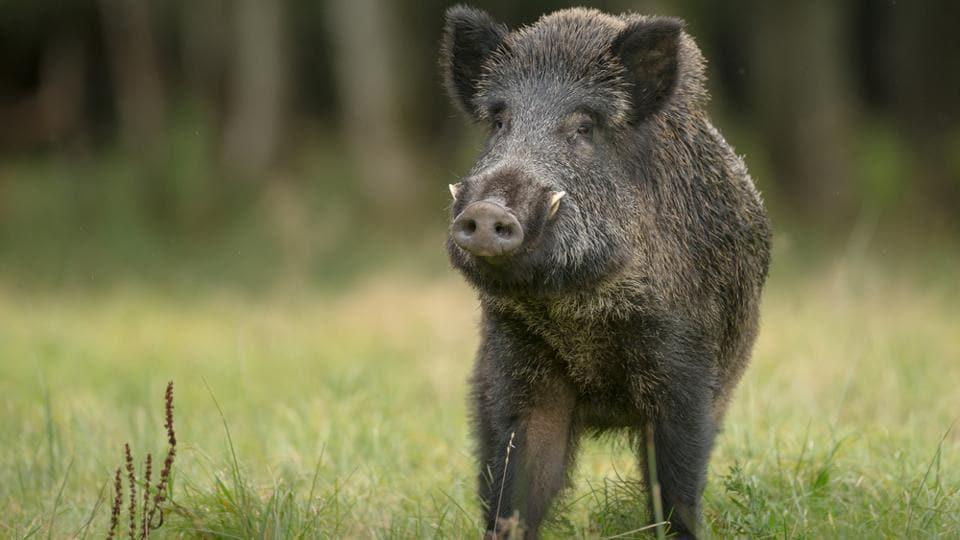 Berlin,Wild boars,Germany