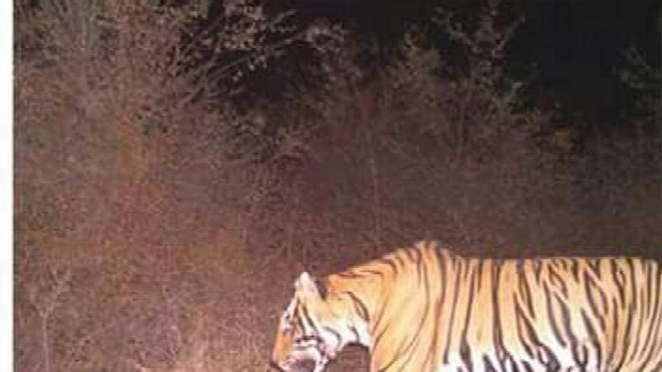 Employees of Ranthambhore Tiger Reserve, Vishdhari sanctuary and Bundi wildlife department are tracking the tiger, T-91 for the last week.