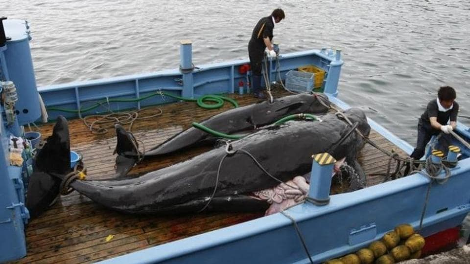 File photo of captured short-finned pilot whales on the deck of a whaling ship at Taiji Port in Japan's oldest whaling village of Taiji, 420 km southwest of Tokyo, on June 4, 2008.