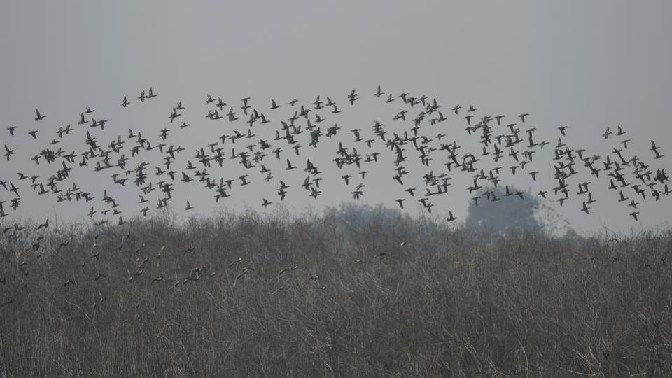 A flock of  Waterfowls seen above the Dhanauri wetland in Greater Noida.  Some migratory birds spotted in the past at this wetland include the Northern shoveler, European roller, Bristled grassbird, Common teal and the Northern pintail. (Burhaan Kinu / HT Photo)