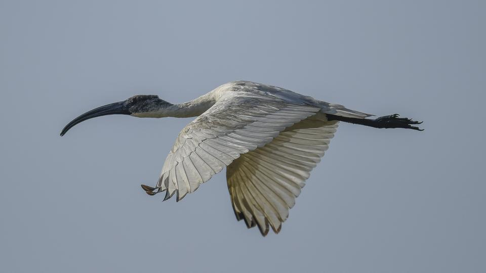 The Black-headed Ibis spotted near the Dhanauri wetland. A resident breeder of northern India, Bangladesh, Nepal and Sri Lanka, it usually flocks near marshy wetlands. (Burhaan Kinu / HT Photo)