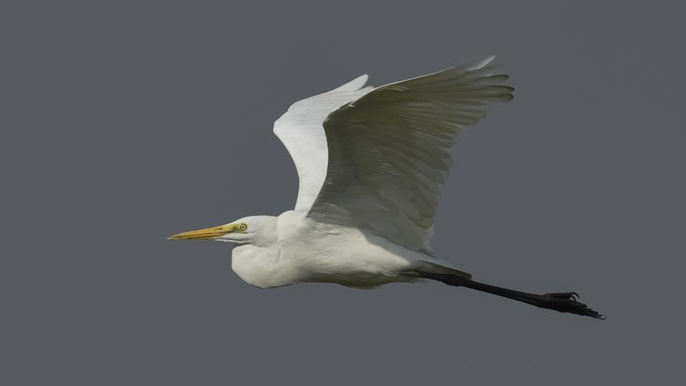 The Great egret, also known as the common egret, is largely spotted in  Asia, Africa, the Americas and  Europe.  Several factors determine the number and arrival of migratory birds including the changing climate, urban pollution and availability of food and suitable habitat and poaching among others. (Burhaan Kinu / HT Photo)
