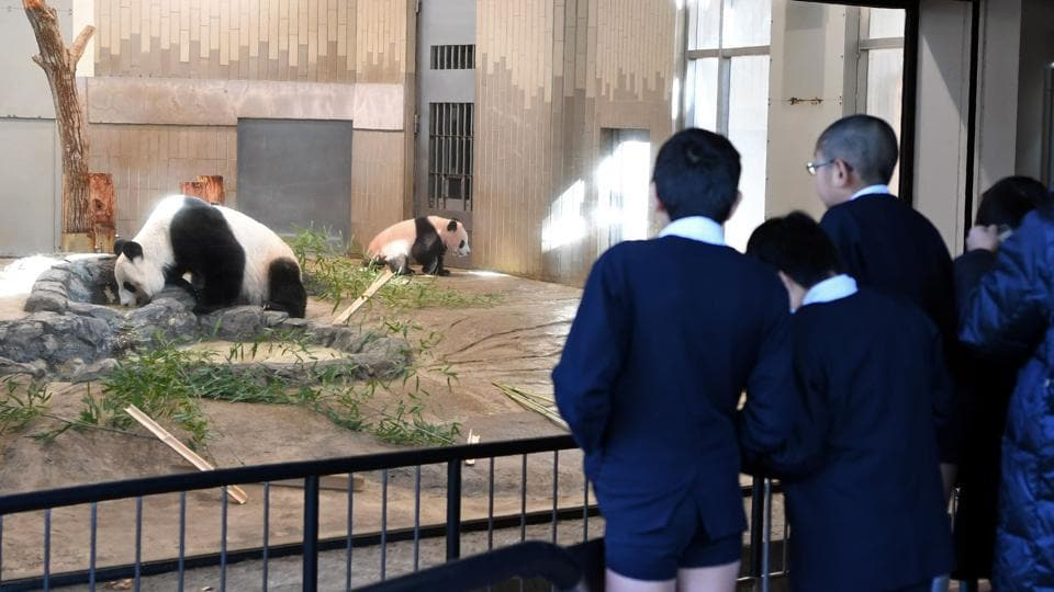 Schoolchildren look into an enclosure holding Xiang Xiang (R) and her mother Shin Shin (L) at Ueno Zoo in Tokyo on December 18, 2017. The panda toddler, small enough at birth to fit in the palm of a hand, now has typical panda markings and weighs around 12 kilograms. Her name, written with the Chinese character for fragrant, was chosen from more than 322,000 suggestions submitted by the public. (AFP)