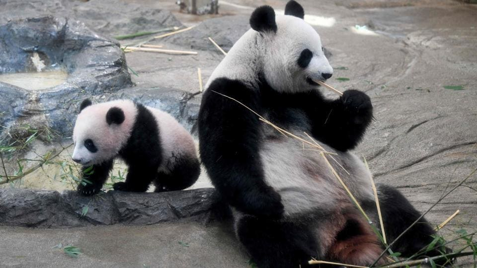 Xiang Xiang (L) and mother Shin Shin (R) in their enclosure during a press preview at Ueno Zoo in Tokyo. Shin Shin and her partner, Ri Ri, arrived from China in February 2011 and went on view soon after the following month's devastating earthquake, offering a scrap of good news for an anguished nation. (Toru Yamanaka / AFP)