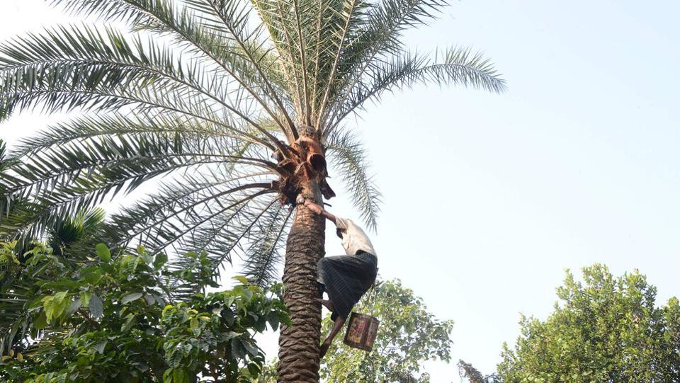 Rahim Sheikh, 42, a labourer from Bangladesh, collects sap drippings from a date palm tree. Having migrated out of poverty, the migrants here have been using the date palm sap to make jaggery –a traditional method seen in Southern India, which was unknown to the locals in the region. (Diptendu Dutta / AFP)