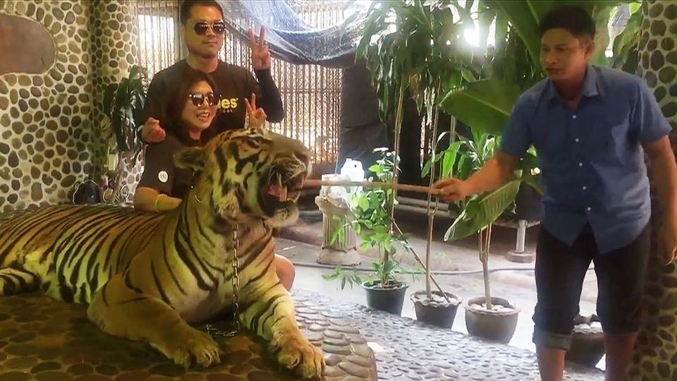 This photo from a video grab taken by Edwin Wiek, the founder of Wildlife Friends Foundation Thailand, shows tourists posing with a roaring tiger being prodded by a Pattaya zoo staff.