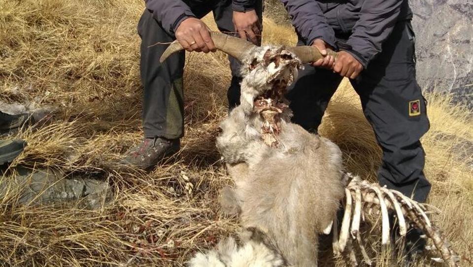 A search team had found a carcass of a sheep during trekking at Kedar Tal.