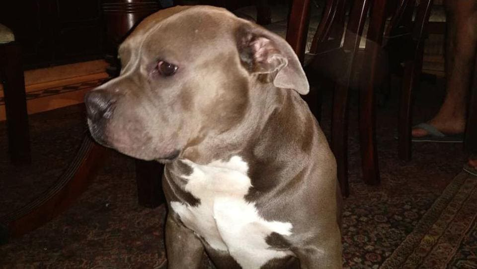 Three-year-old Promise, an American Bully, was abducted from outside Omaxe Forest Spa condominium in Sector 93B of Noida.