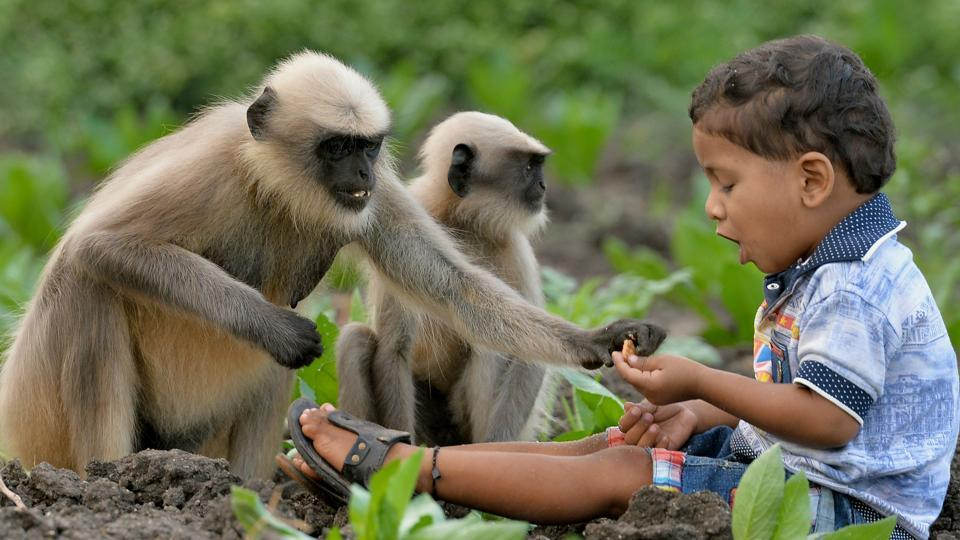 Samarth Bangari, 2, feeds langur monkeys in a field near his home in Allapur village in Karnataka. He is still too young to talk, but the boy has become a subject of local intrigue after befriending a gang of langur monkeys.