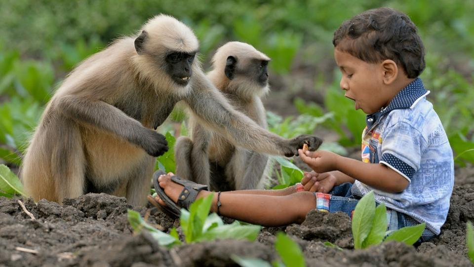 His unusual friendship with these terrestrial primates was first spotted when he was found playing with nearly two dozen gray langurs alone. (Manjunath Kiran / AFP)