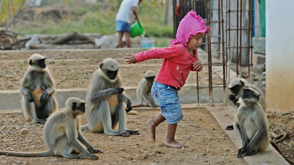 The  relationship piqued local interest, and soon people began visiting Samarth's house to catch a glimpse of young toddler tottering around the farm with several langurs in tow. (Manjunath Kiran / AFP)