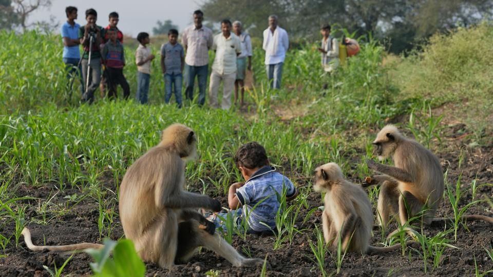 "Villagers watch Samarth feed langurs in a field near his home in Allapur. ""Everyone thinks that he is special and they are communicating with each other, and can understand what is being said,"" Reddy said.  (Manjunath Kiran / AFP)"
