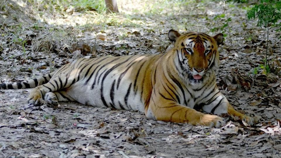 The last official census of tigers across the state from 2016 revealed 202 tigers.
