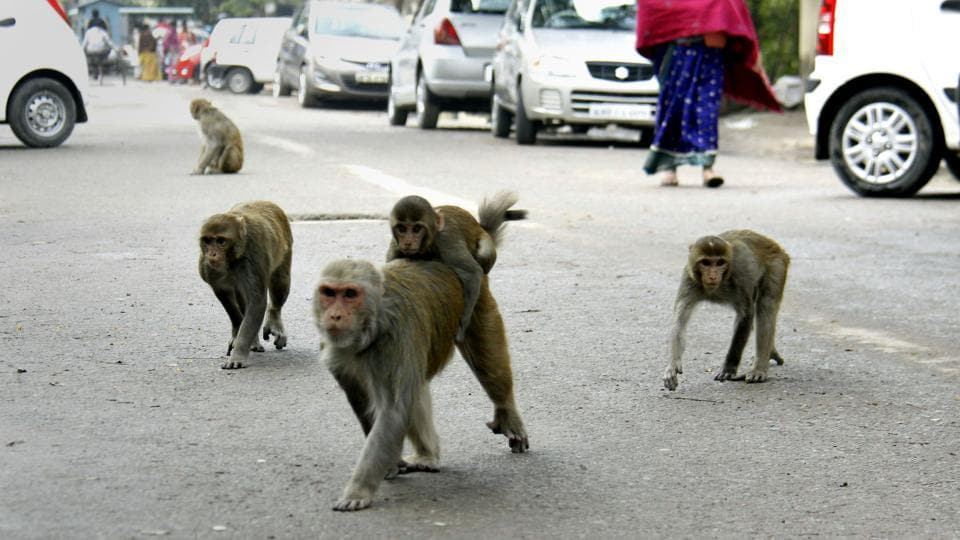 The MCG has denied allegations of treating monkeys cruelly. Officials said they have only tried to keep residents safe.