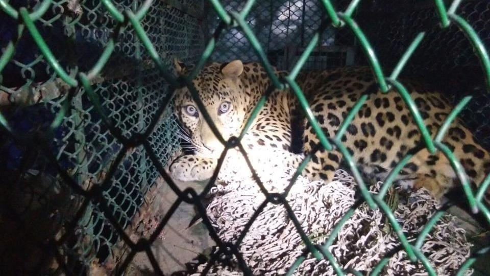 leopard,man-animal conflict,Gurgaon