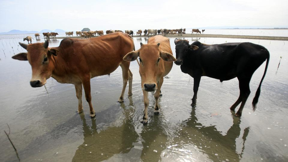 In August this year, the BJP government in Chhattisgarh had come under attack from opposition over deaths of a large number of cows at three state-aided shelters.