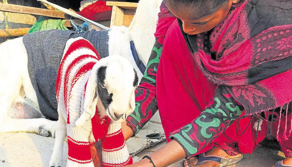 Baby goat named Chhotu  wearing the old cardigan of his owner.