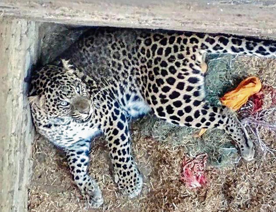 The leopard at Kang village of Tarn Taran on Monday.
