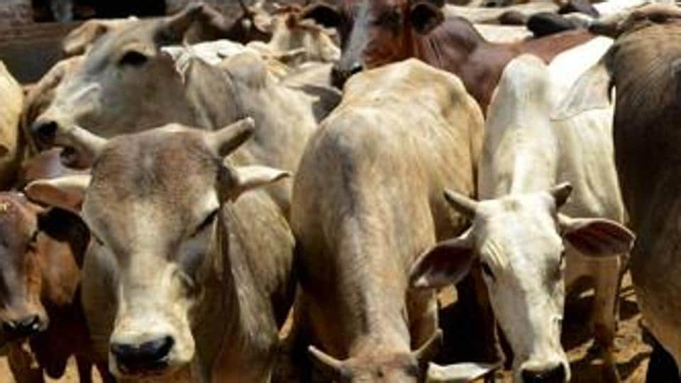 Cow shelter,Gwalior municipal corporation,Cattle deaths