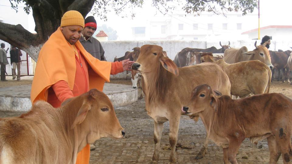 Uttar Pradesh CM Yogi Adityanath feeds cows at a gaushala in Gorakhpur. (HT file photo)